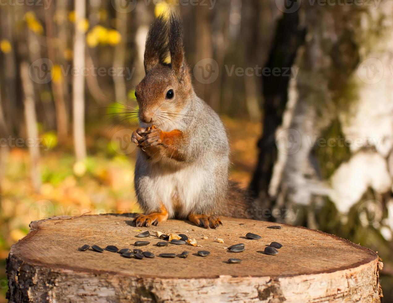 Red eurasian squirrel photo