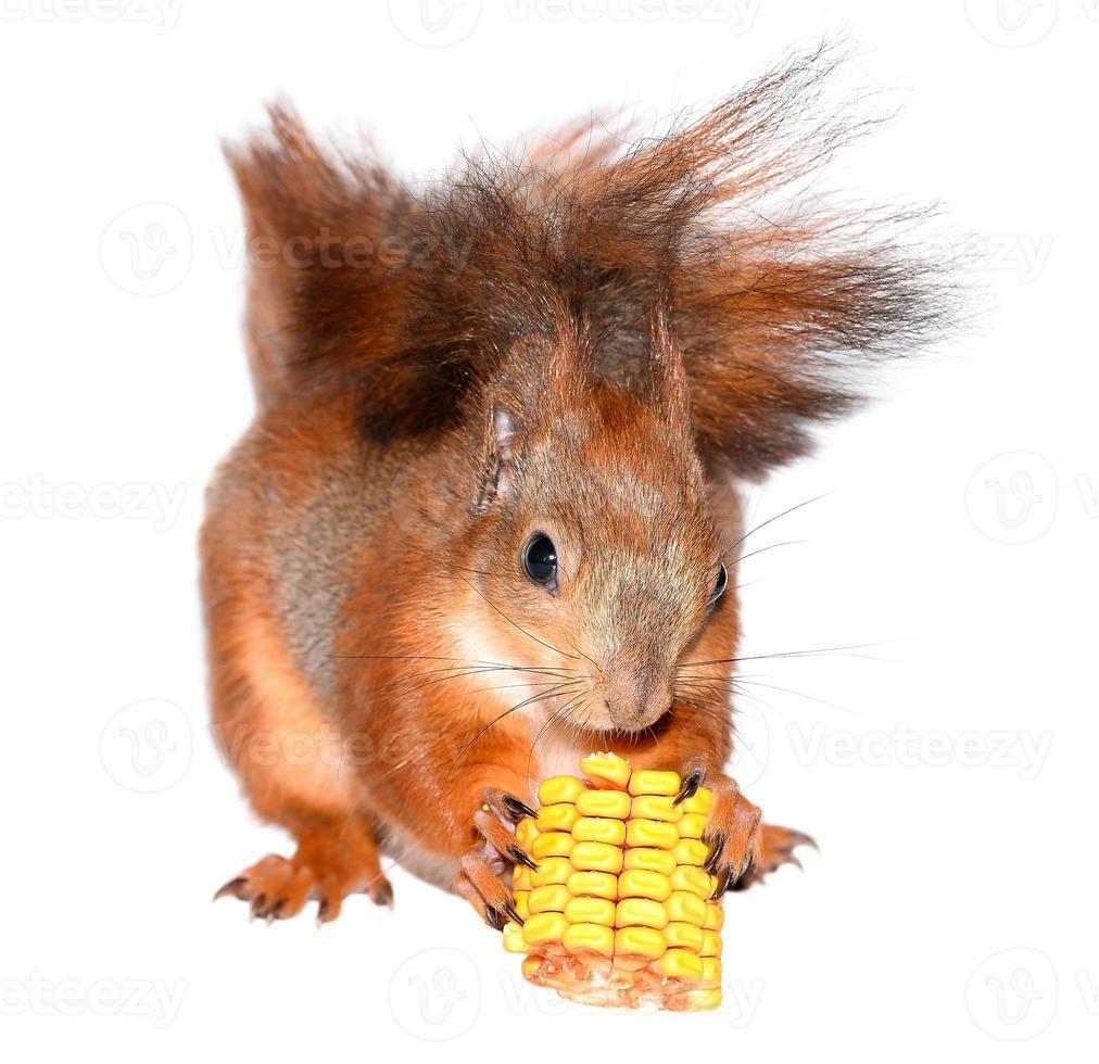 eekhoorn en maïs foto