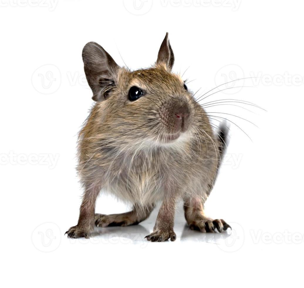 lindo pequeño bebé roedor degu mascota foto