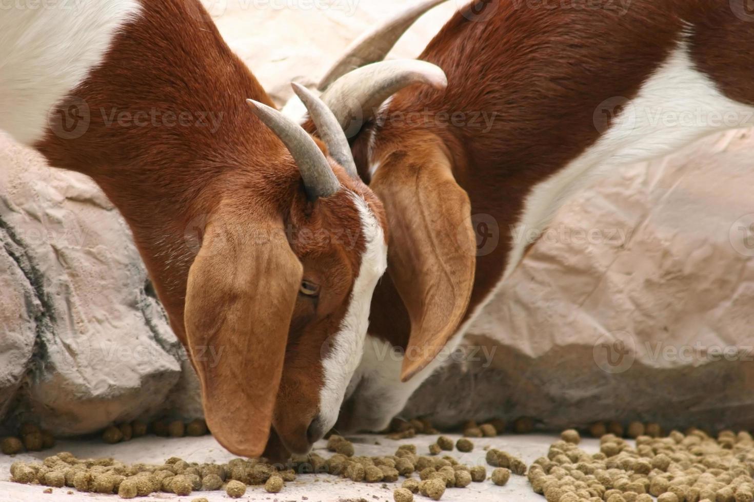 Goats Eating photo