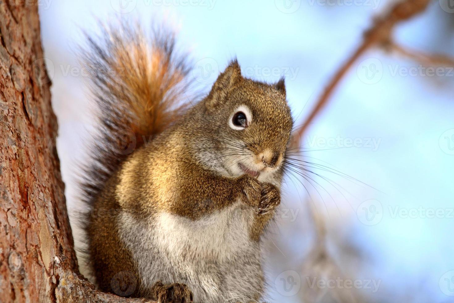 Red Squirrel on tree branch photo
