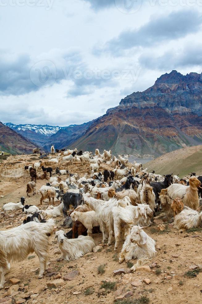 cabras montesas, valle de spiti foto