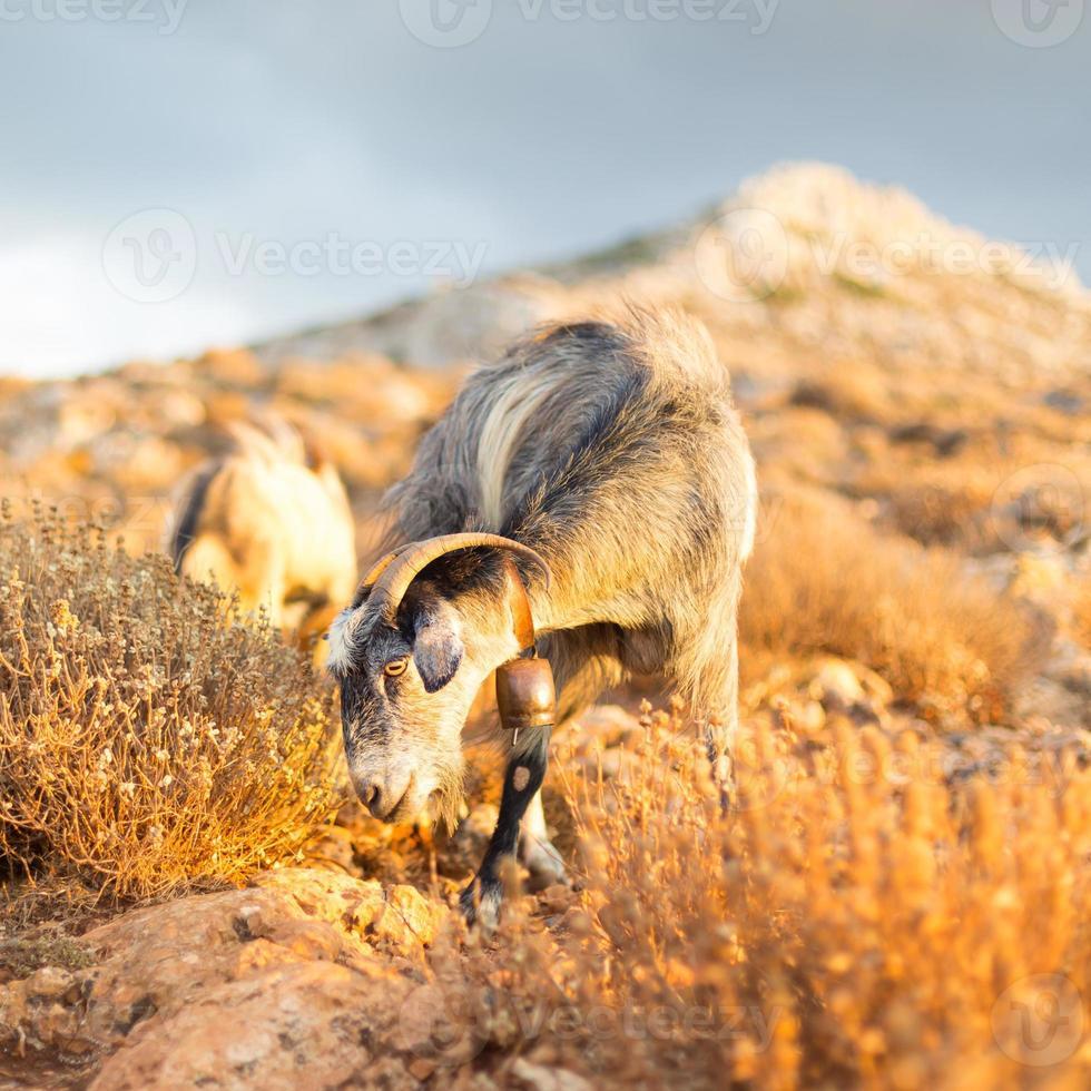 Cabra doméstica en las montañas. foto