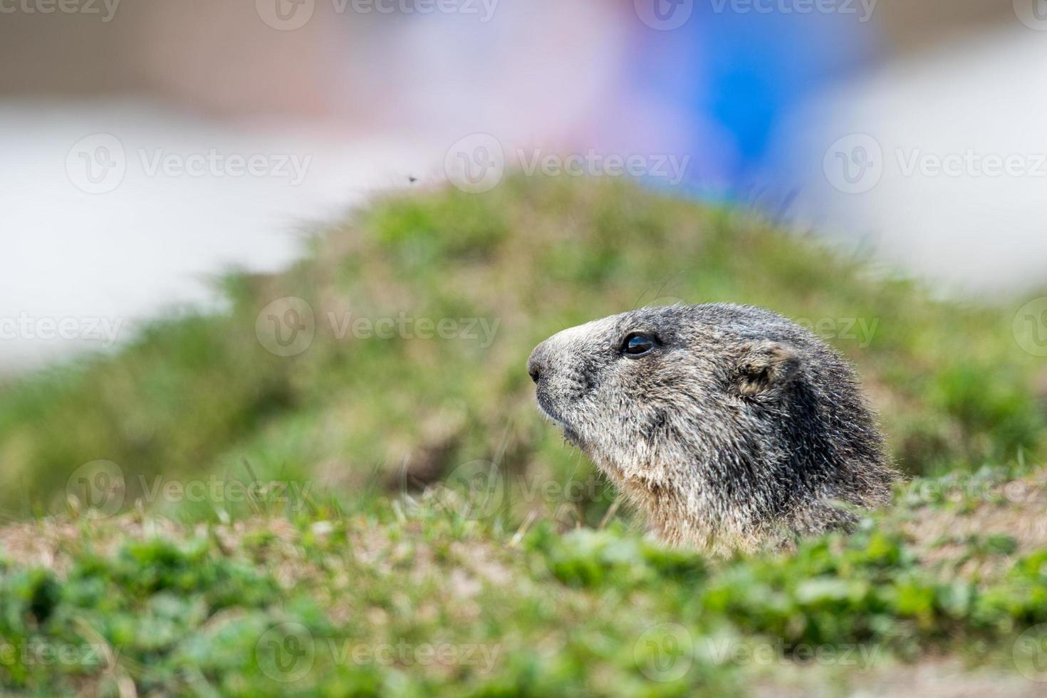 Retrato de marmota de cerdo molido mientras te mira foto