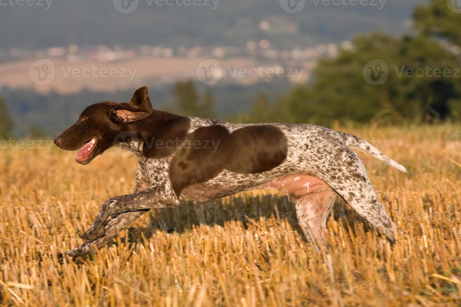 corriendo puntero de pelo corto alemán foto
