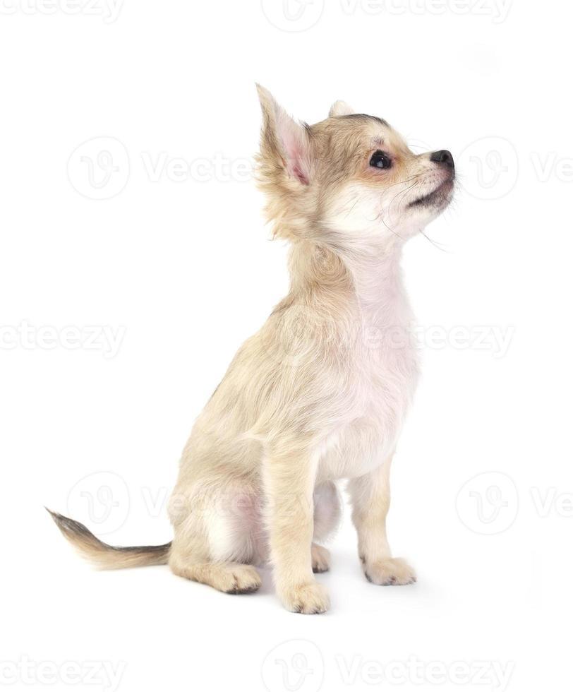 Lindo perrito chihuahua pequeño sentado en blanco aislado foto