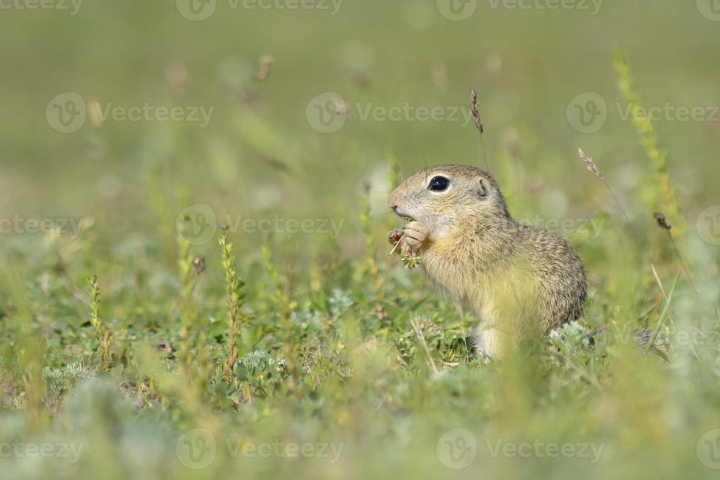 gopher in the nature photo