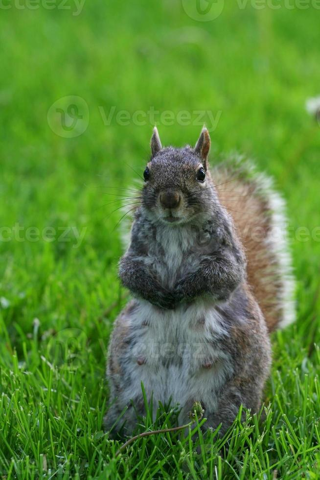 Squirrel standing on yard photo