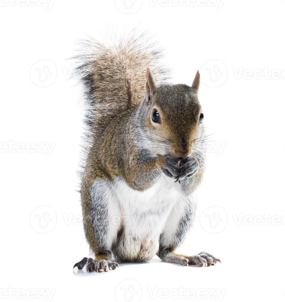 Young male American gray squirrel eats something. Isolated on wh photo