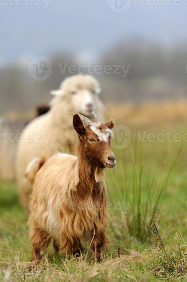 Goat in meadow photo