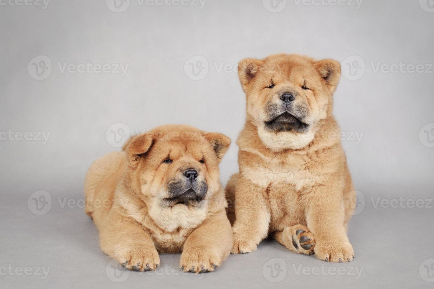 retrato de dois filhotes de cachorro chow-chow foto