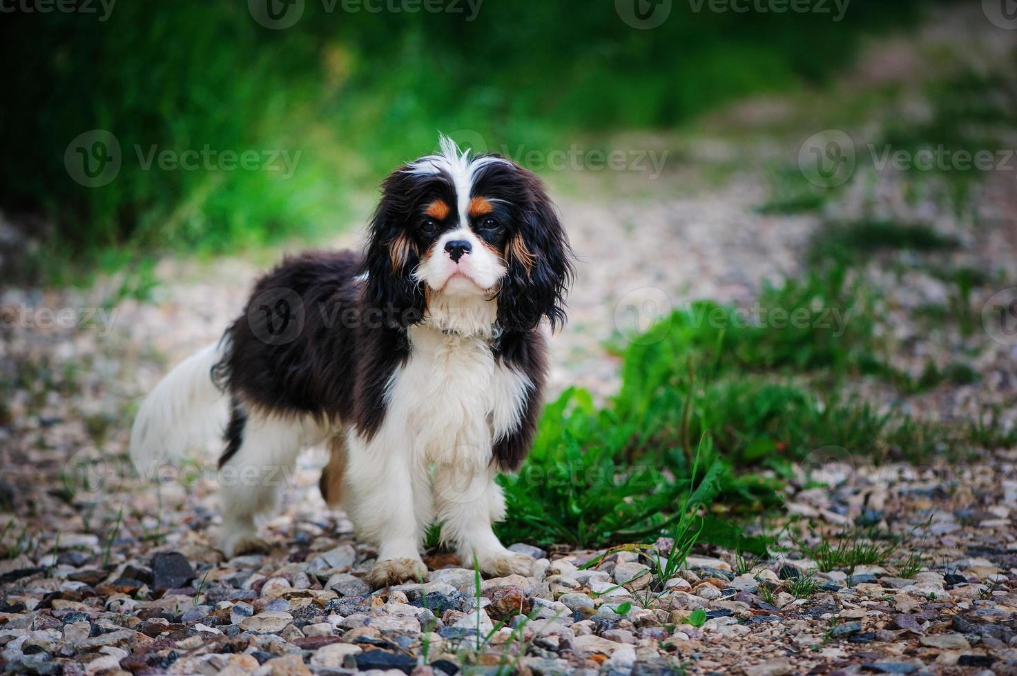 Joven macho cavalier king charles spaniel perro en el jardín de verano foto