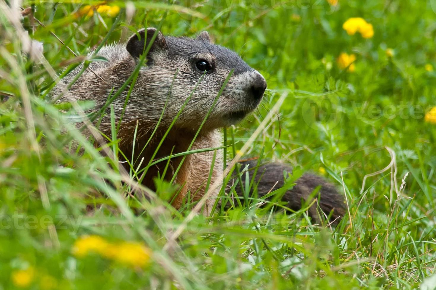 Groundhog photo