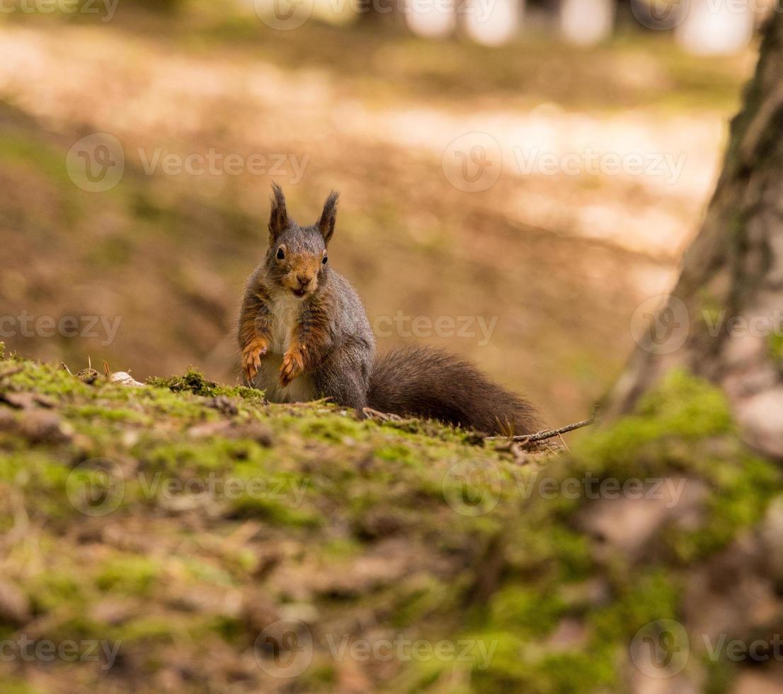 Red Squirrels photo