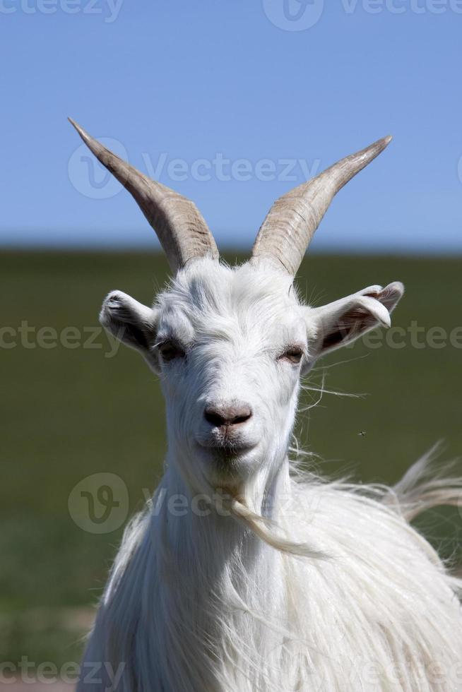 goat front view photo