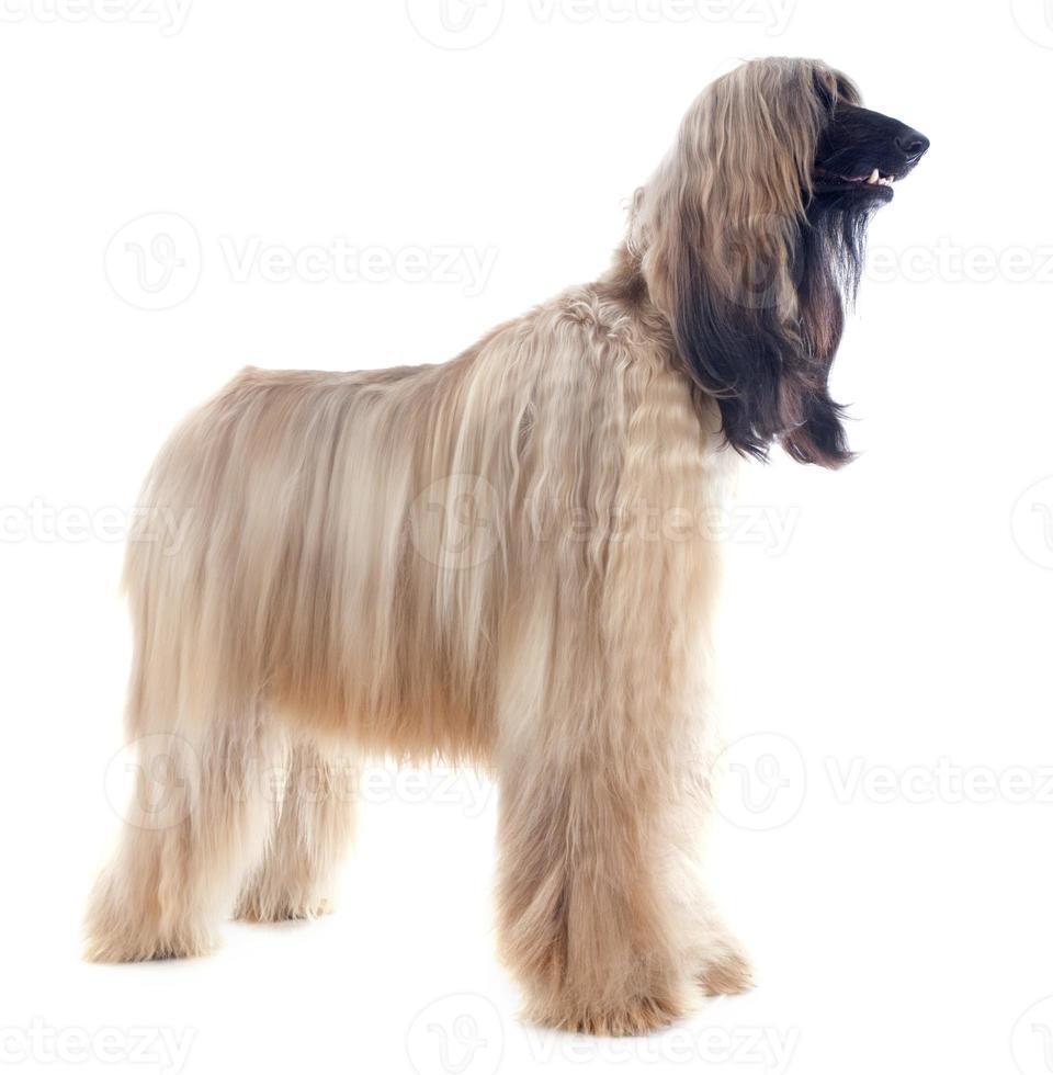 Afghaanse hond foto