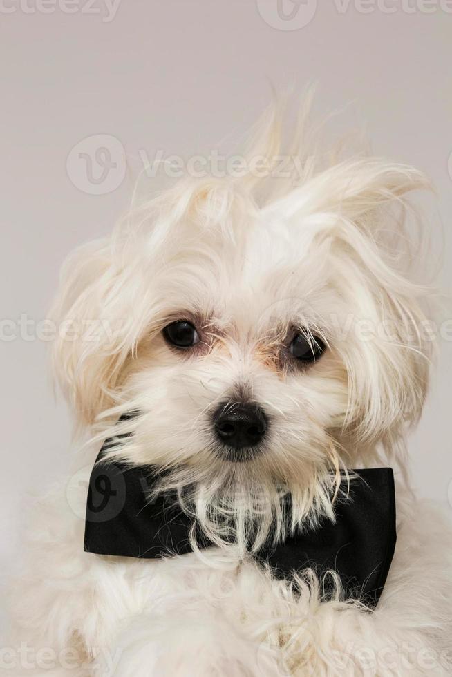 perro maltés blanco foto