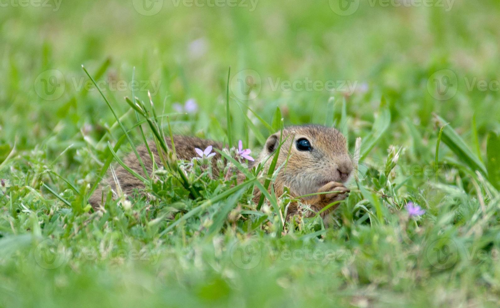 ardilla de tierra europea escondida en la hierba foto
