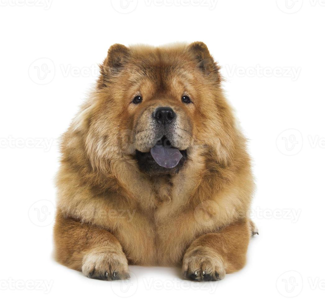 perro chow-chow foto