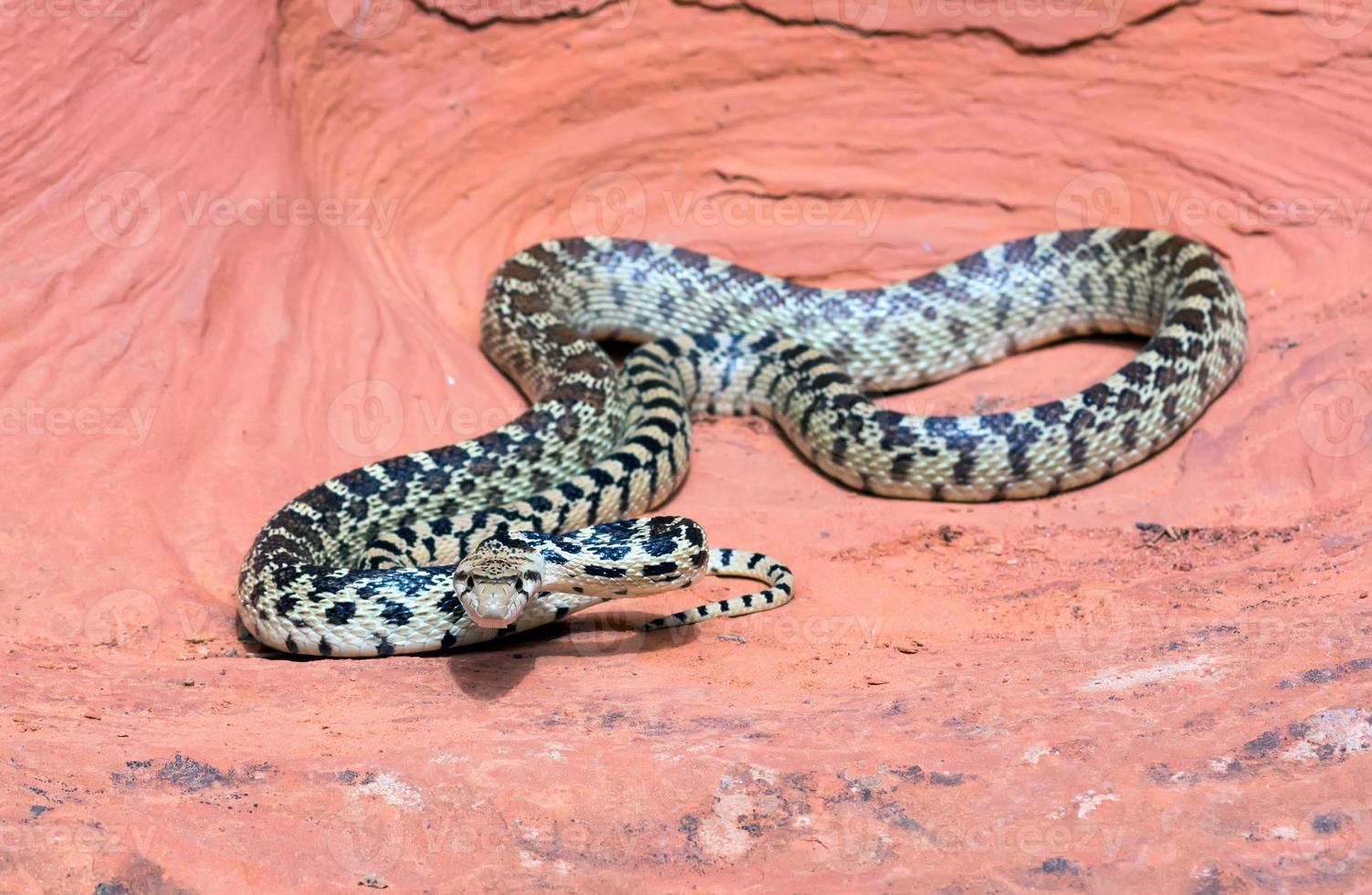 serpiente de gopher de la gran cuenca (pituophis catenifer deserticola) foto