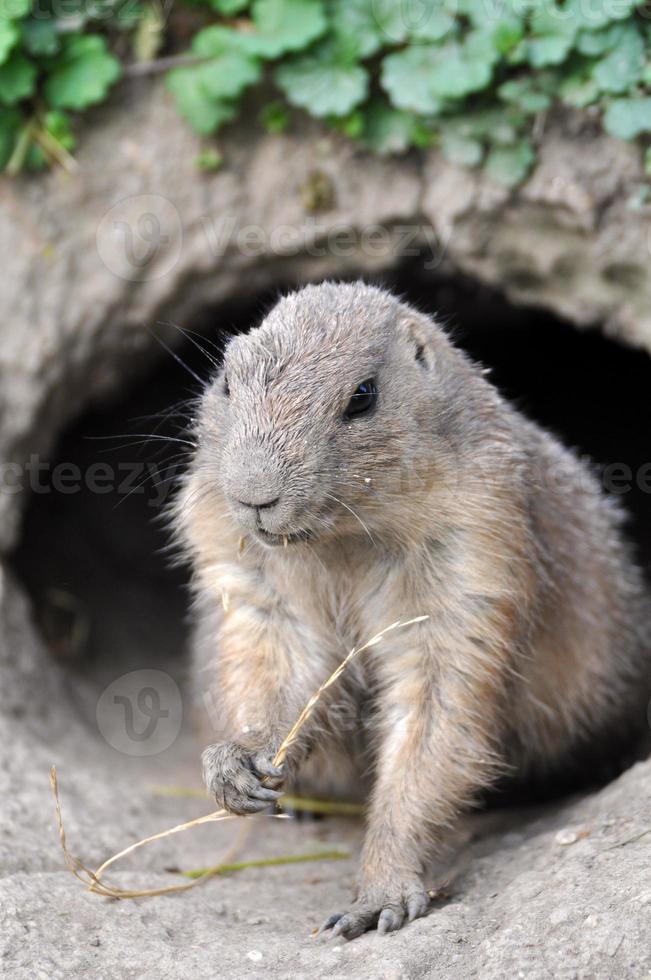European ground squirrel - Spermophilus citellus photo