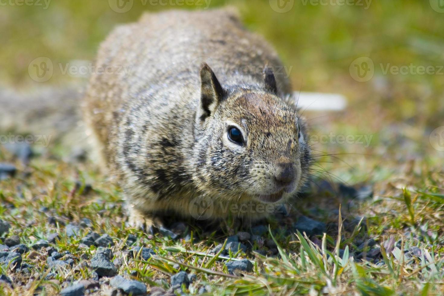 Ground Squirrel photo