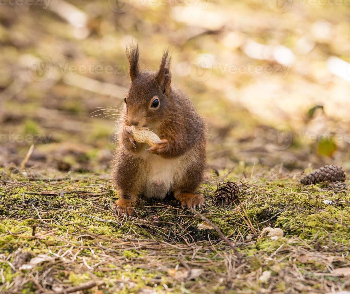 rode eekhoorns foto