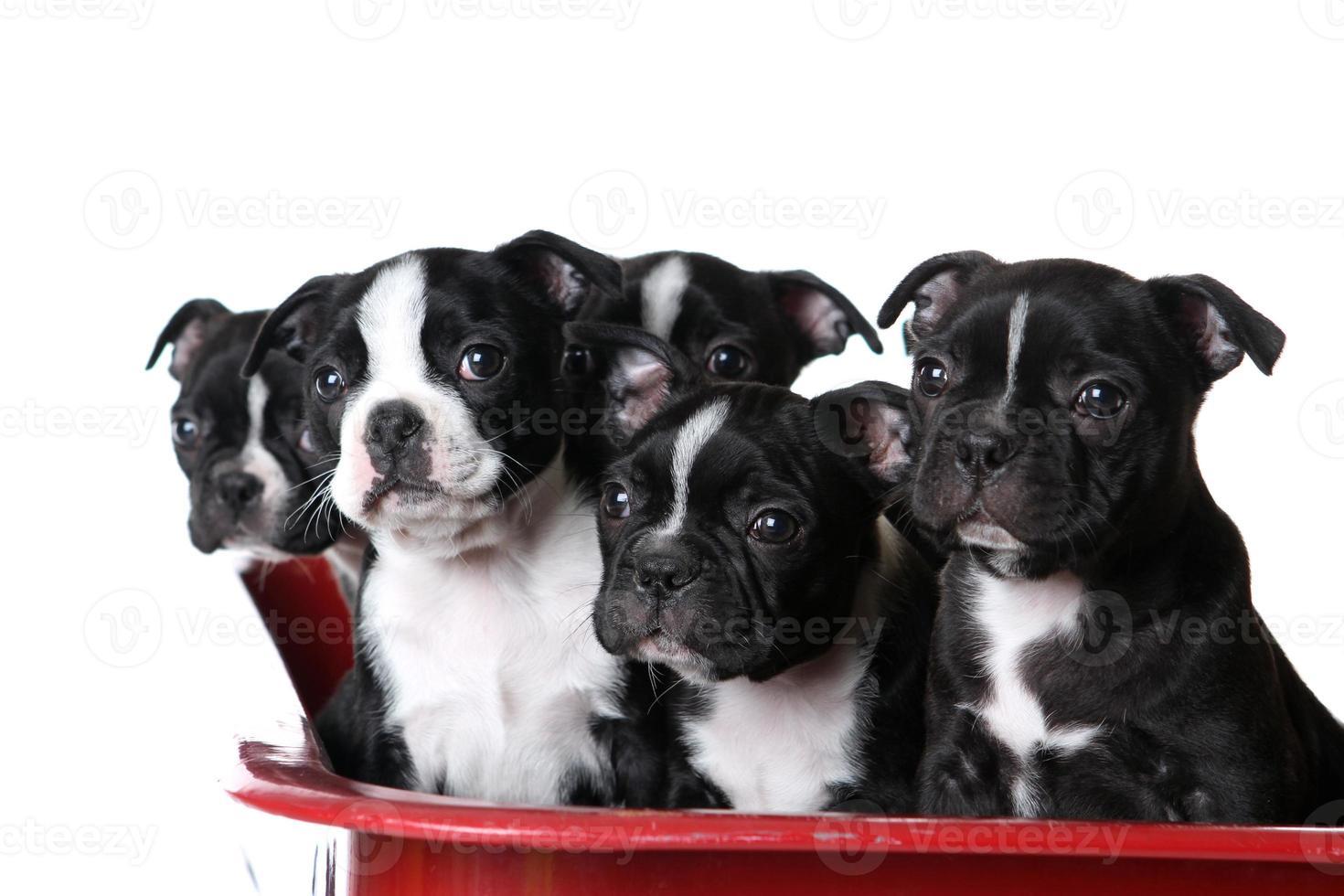 Alert Boston Terrier Puppies photo
