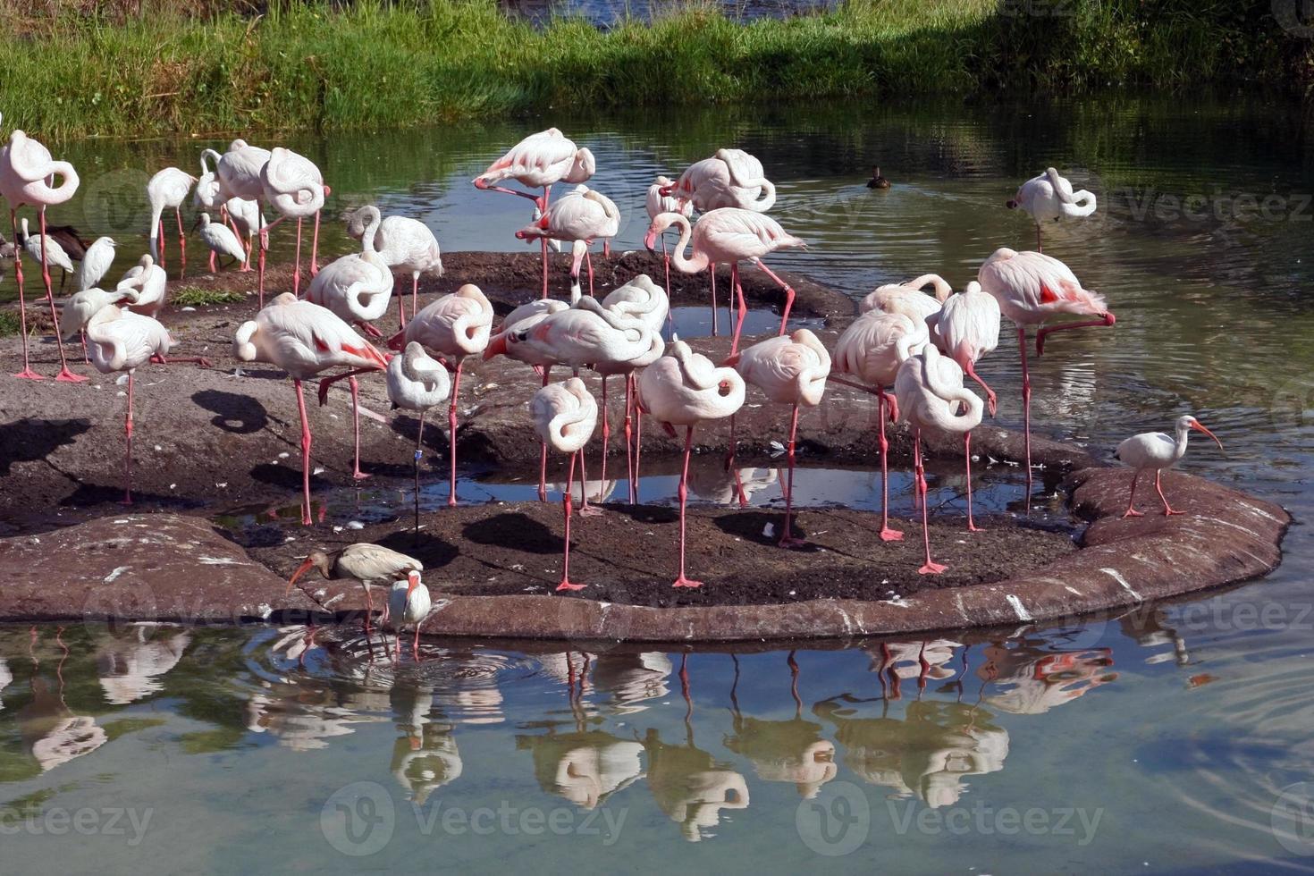 Greater Flamingos photo