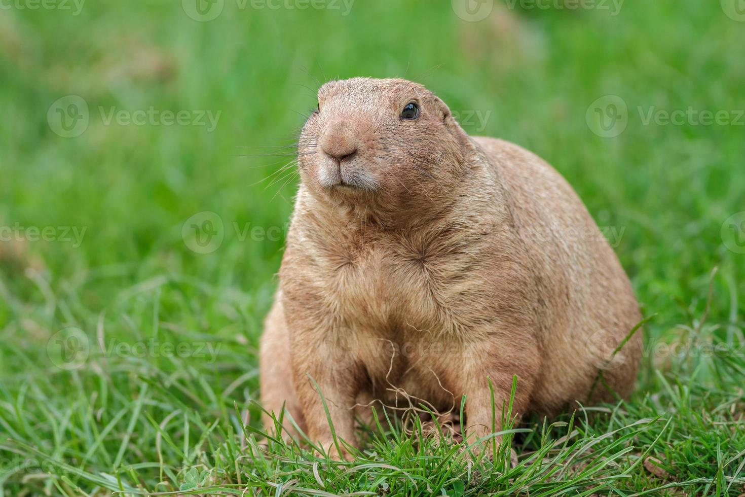 marmota foto