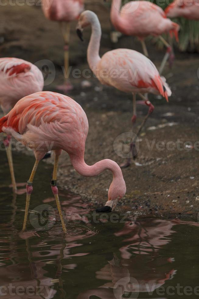 Chilean flamingo, Phoenicopterus chilensis photo