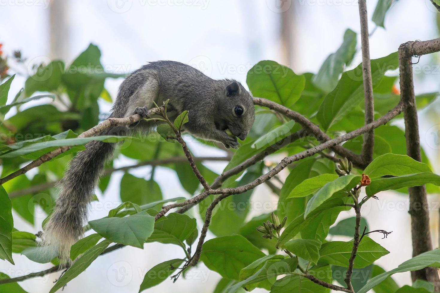 eekhoorn koningin sirikit park, bangkok. foto
