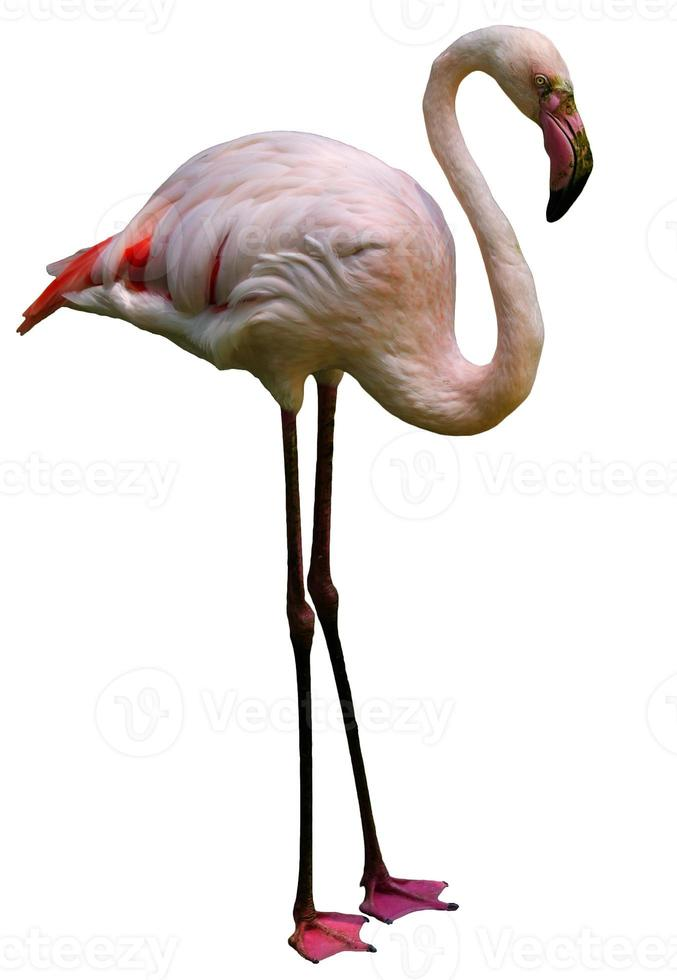 flamenco rosa foto