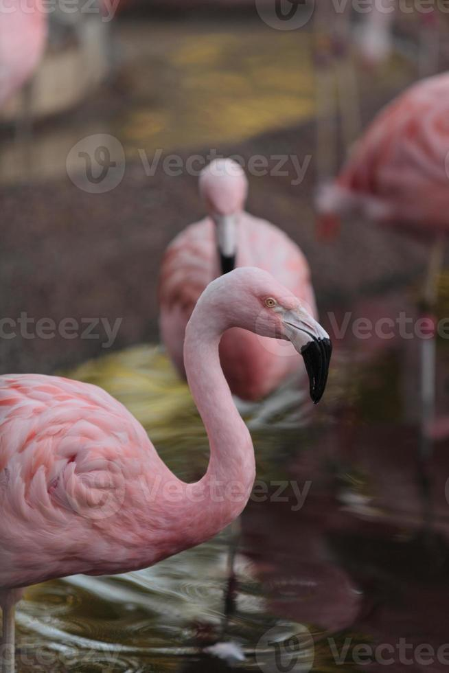 flamingos chilenos, phoenicopterus chilensis foto