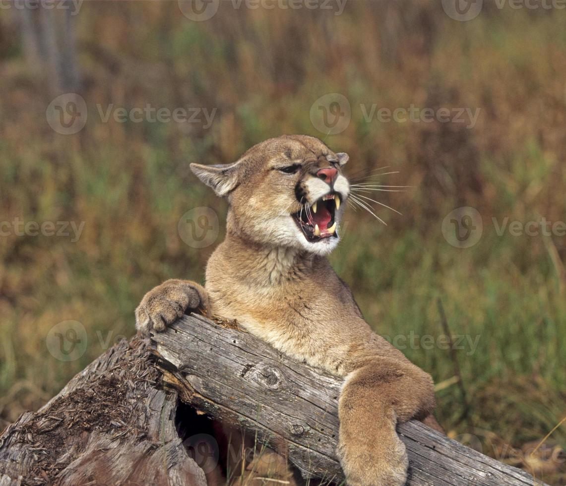 Cougar growling photo