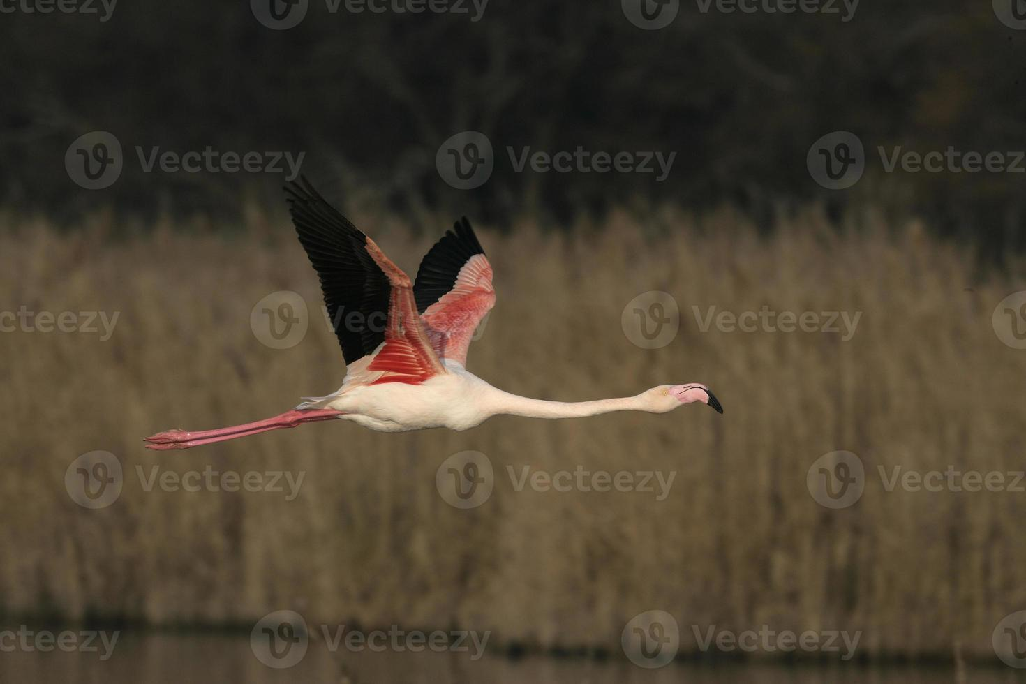 mayor flamenco, phoenicopterus ruber foto