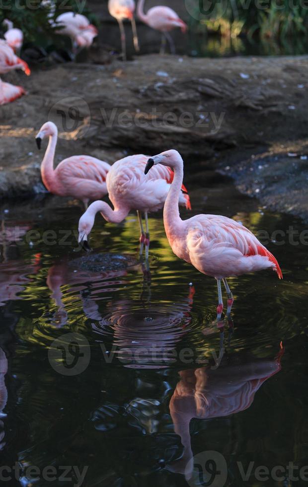 Chilean flamingos, Phoenicopterus chilensis photo
