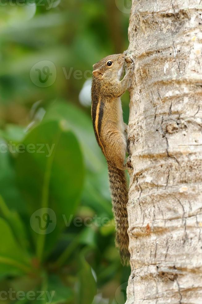 Wild chipmunk photo