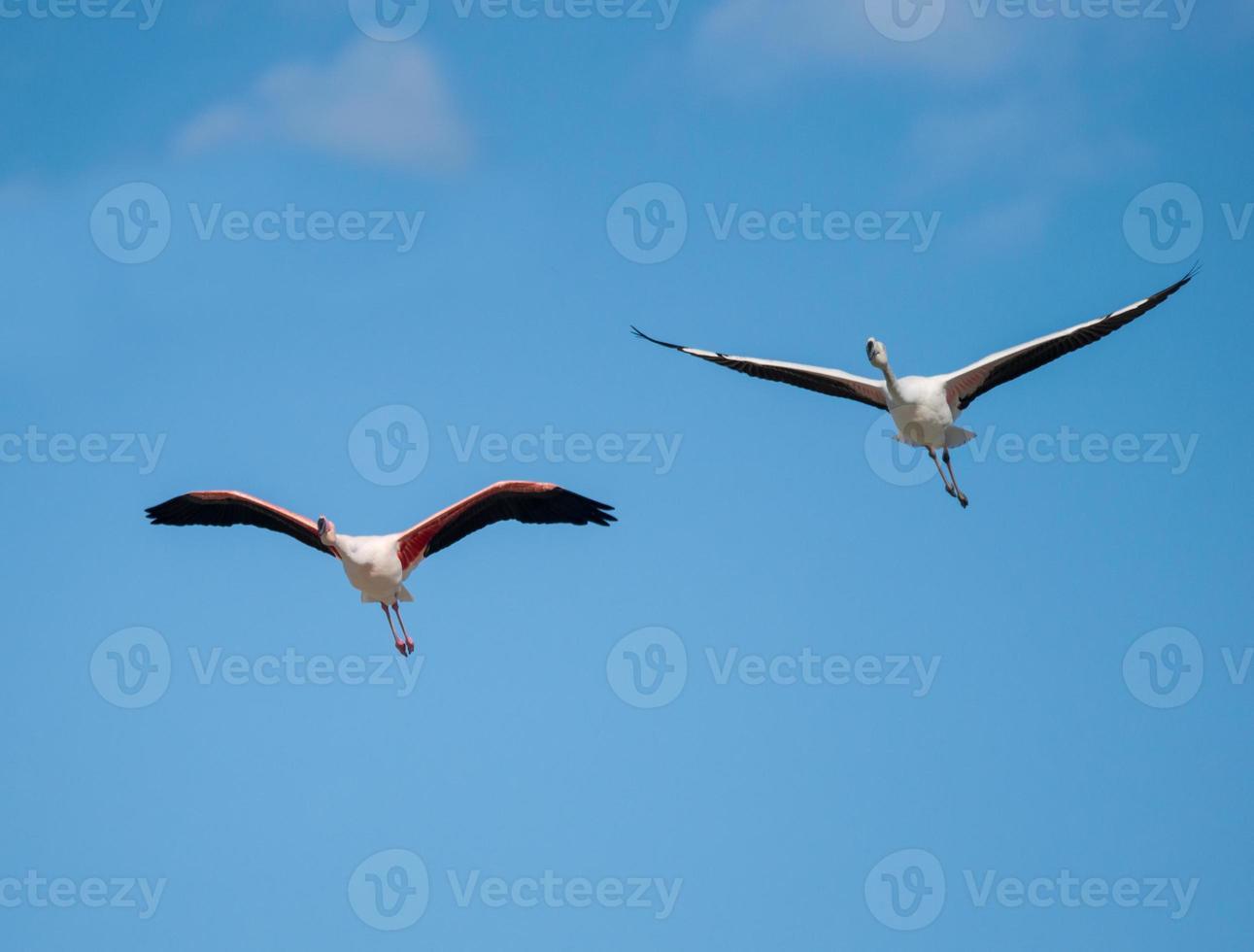 twee grotere flamingo's tijdens de vlucht foto