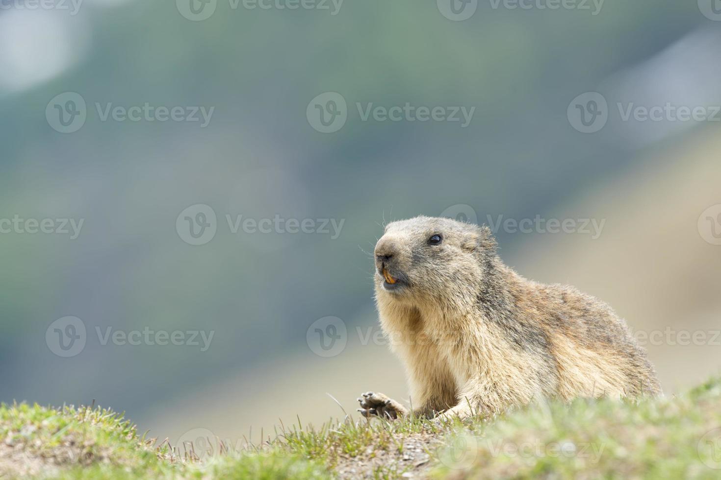 marmota aislada foto