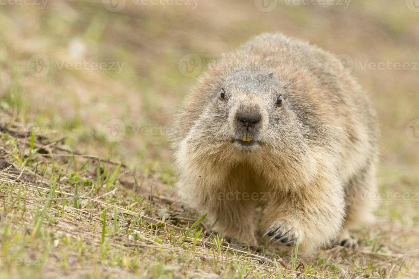 Marmot portrait photo
