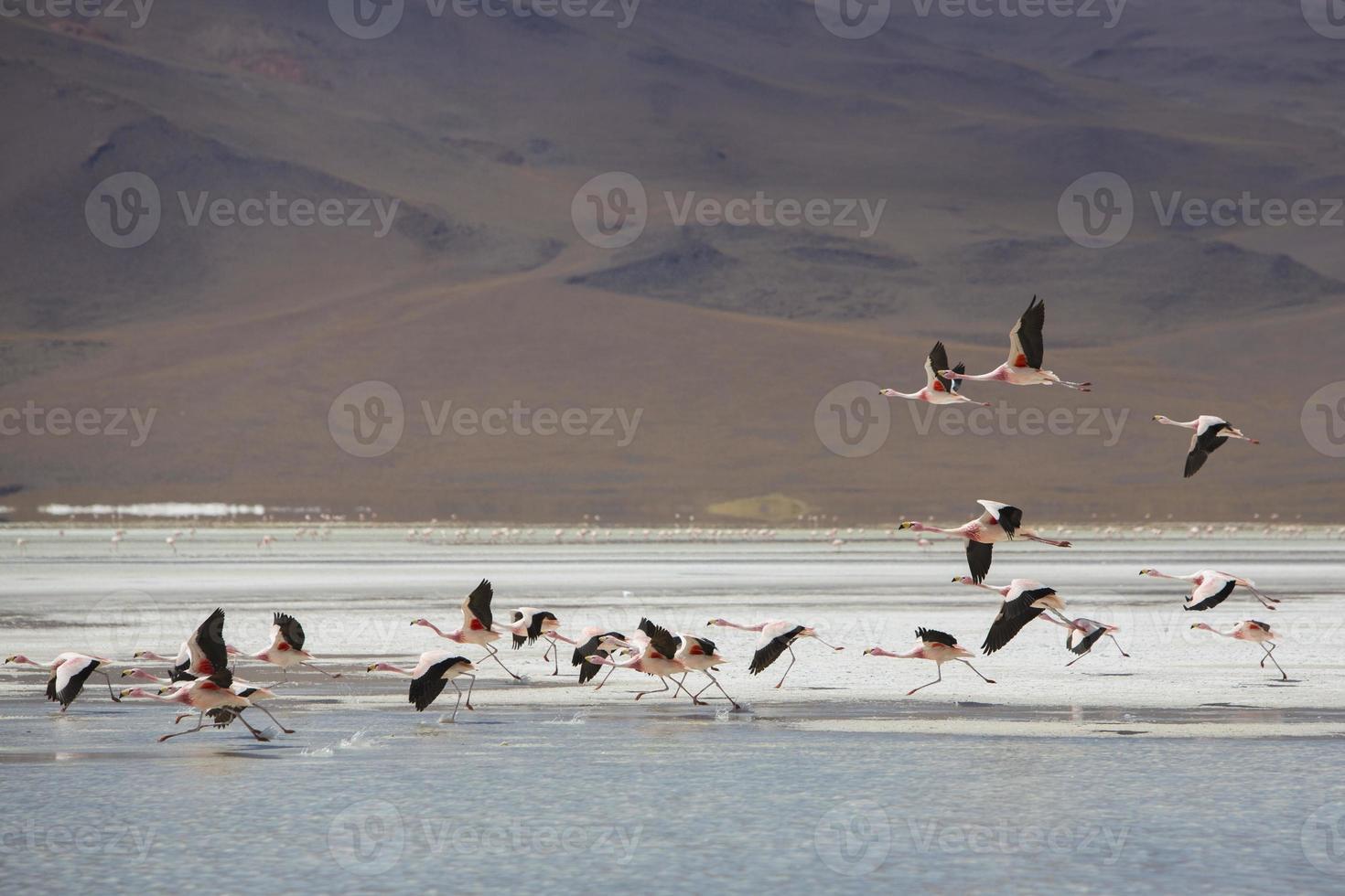Grupo de flamencos volando sobre la laguna, Bolivia foto