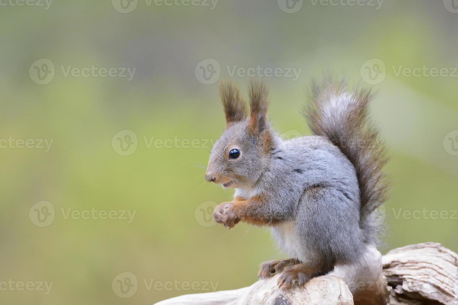 Red Squirrel (Sciurus vulgaris) photo