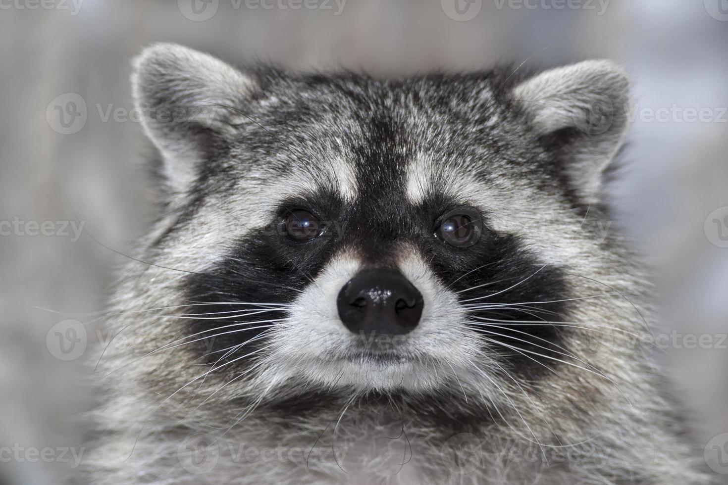 Retrato macro de un mapache. foto