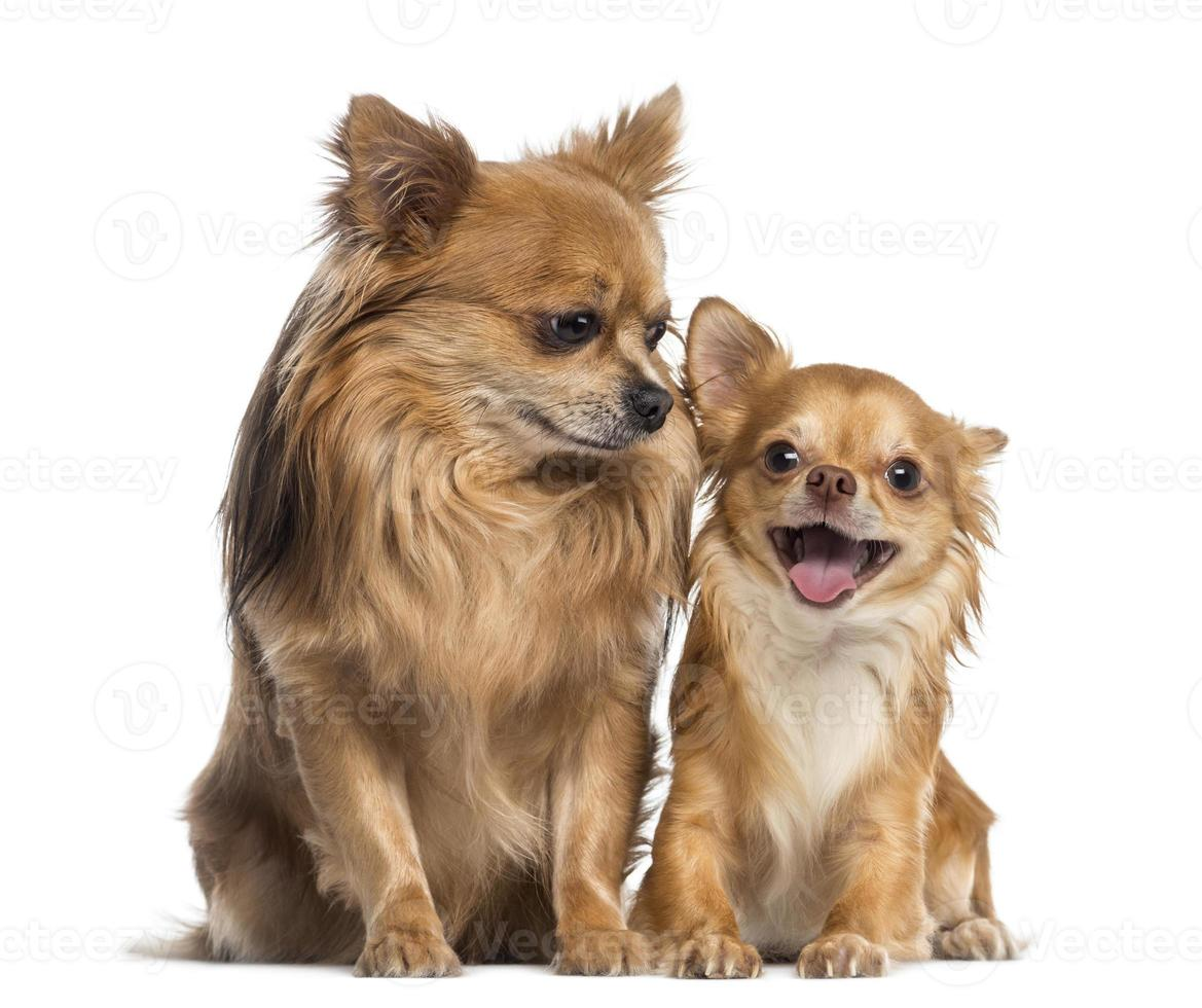 Chihuahua sitting and looking to a happy friend photo
