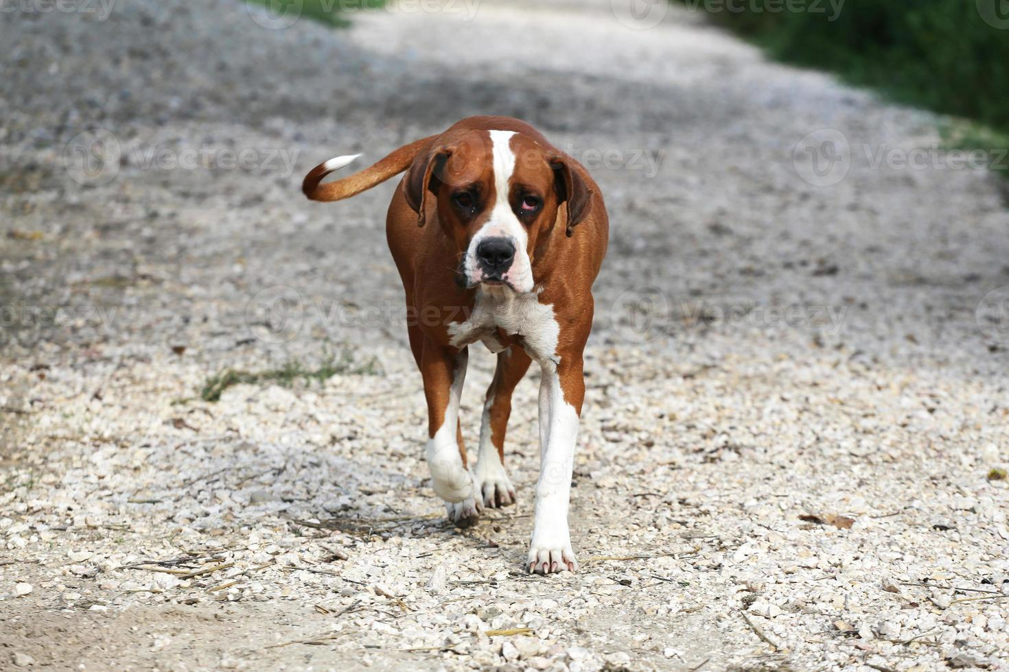 Bulldog americano hembra inteligente en una granja de animales foto
