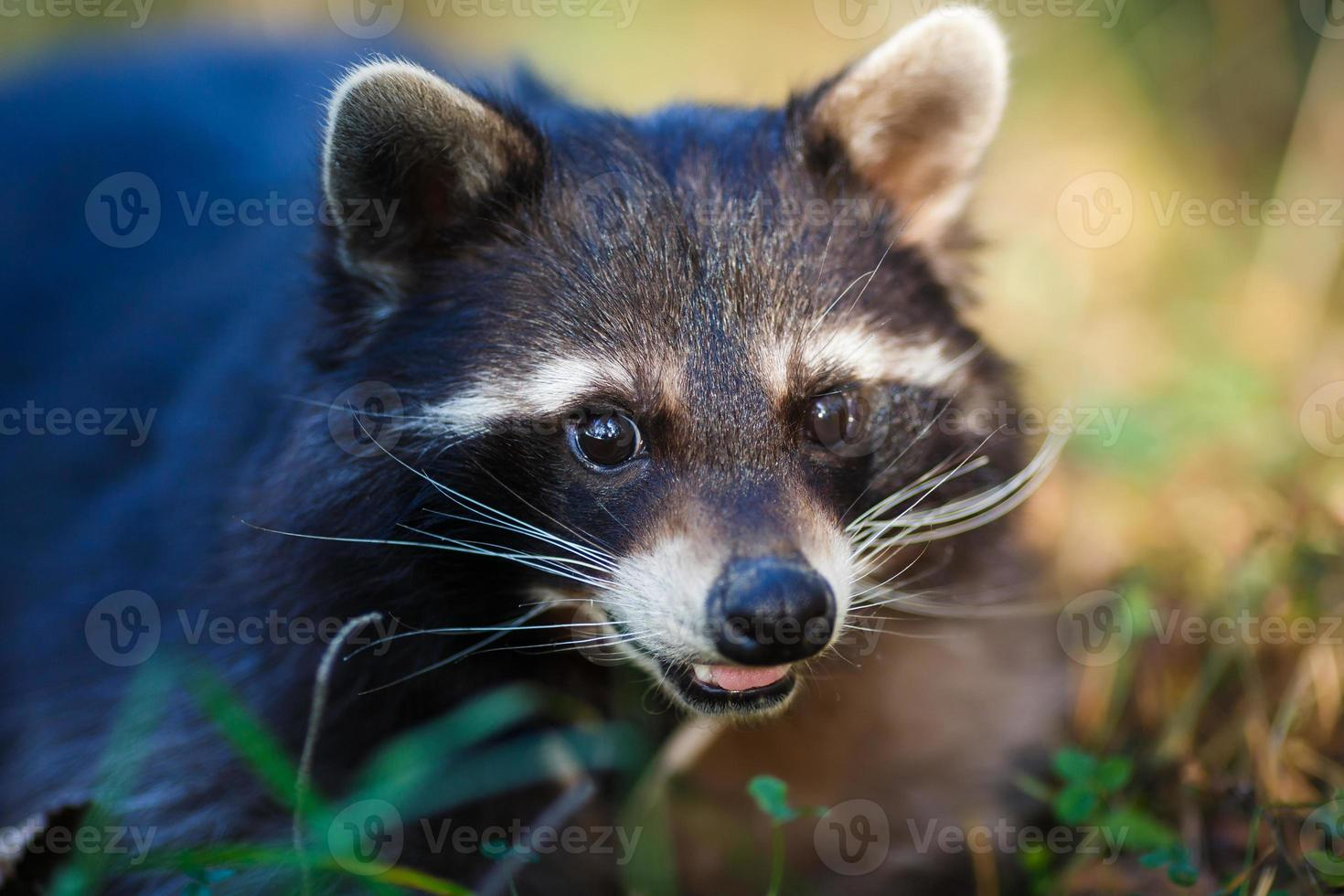 Raccoon in a forest photo
