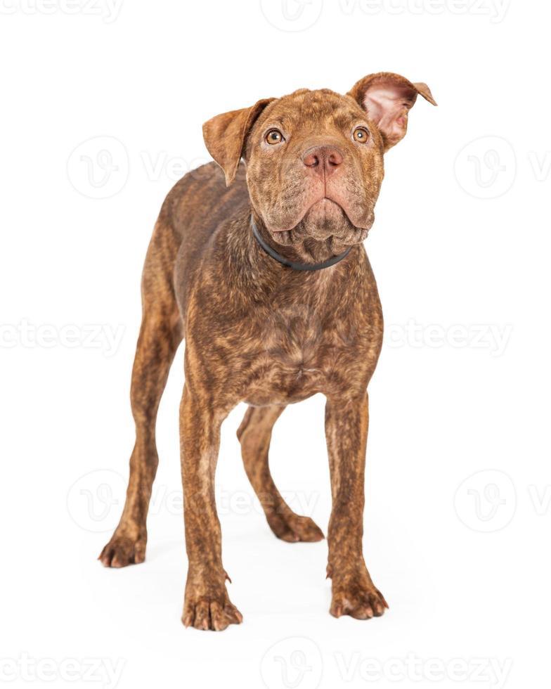 Shar Pei y Pit Bull perro de raza cruzada de pie foto