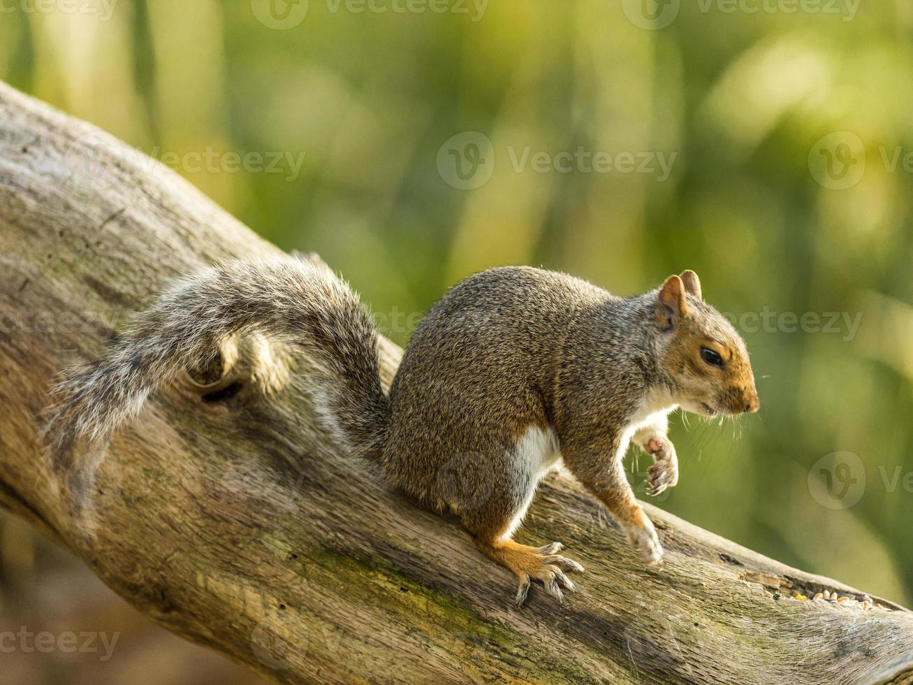 Grey Squirrel (Sciurus carolinensis) photo