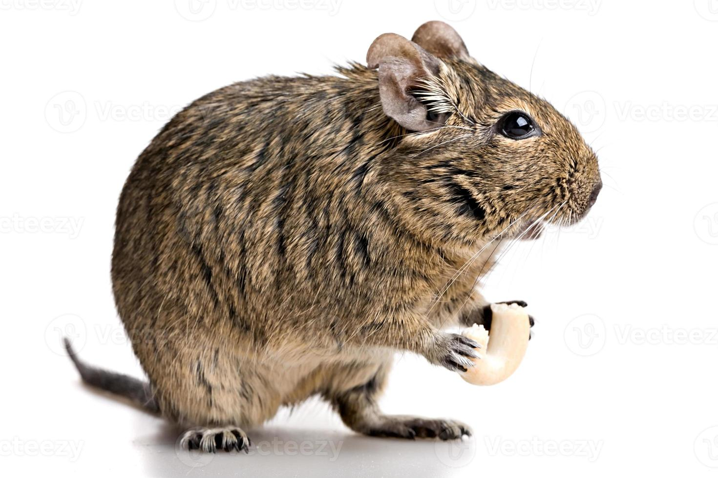 small rodent stands profile with food in paws photo